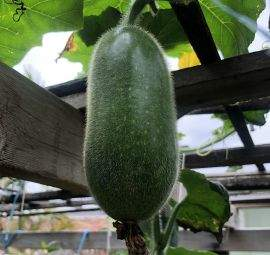 Ash Gourd is the most auspicious food in ayurvedic tradition