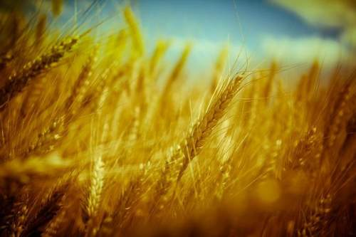 There are many disadvantages of eating wheat